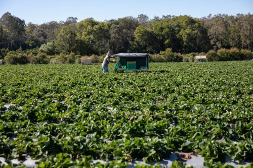 Strawberry Fields Luva Berry Farm Great Day Out Tastes Moreton Bay Region