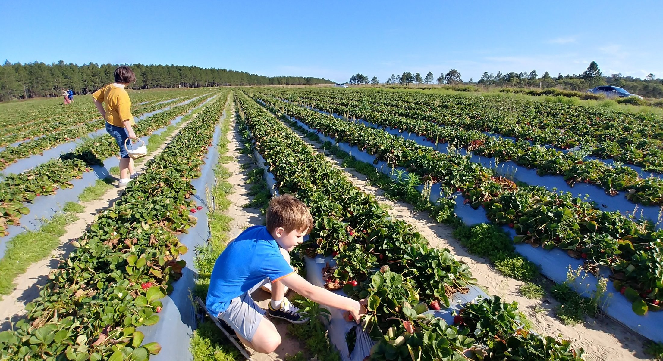 Rolin Strawberry Farm boy picking Moreton Bay Region