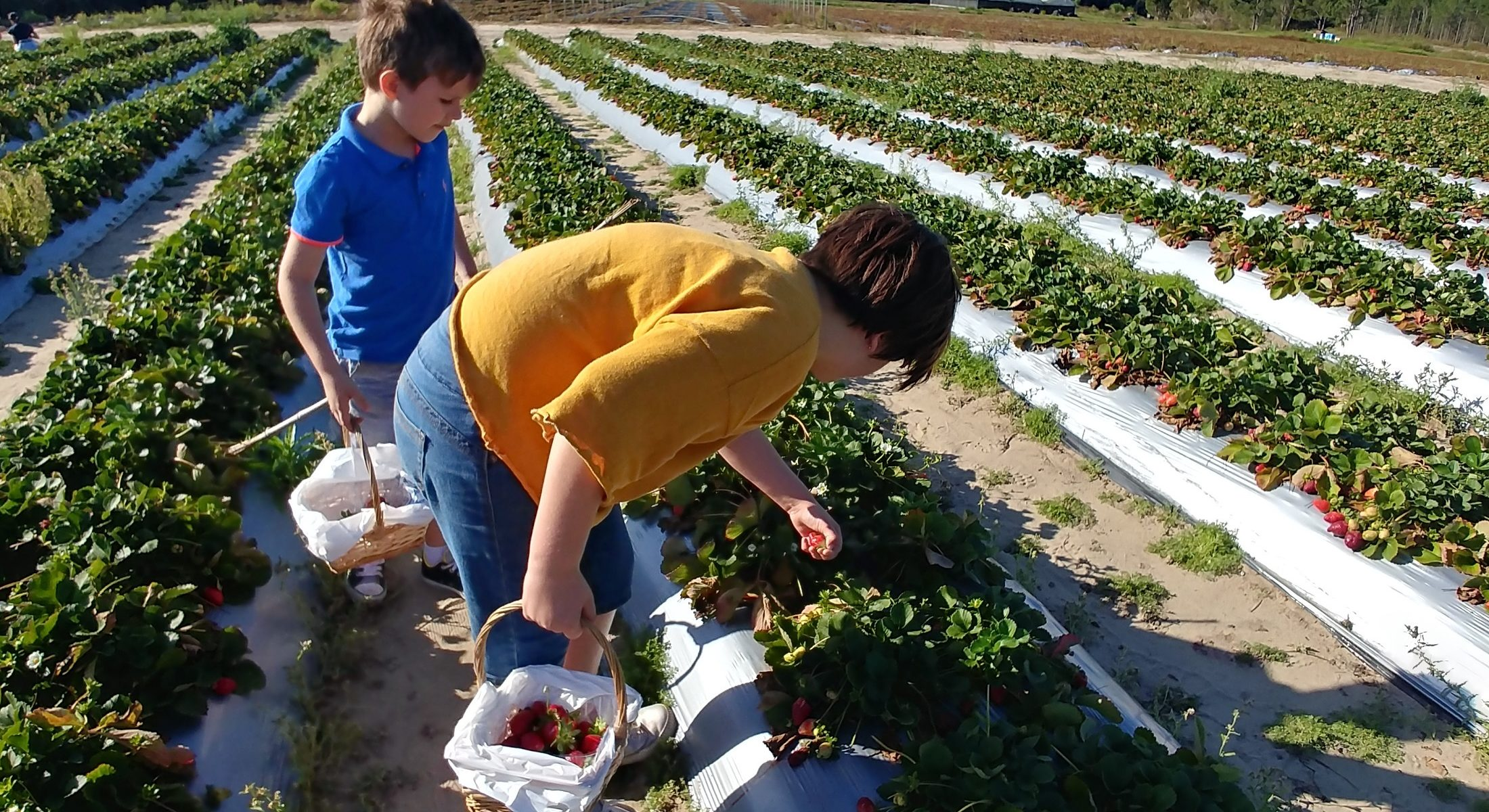 Rolin Strawberry Farm kids picking Moreton Bay Region