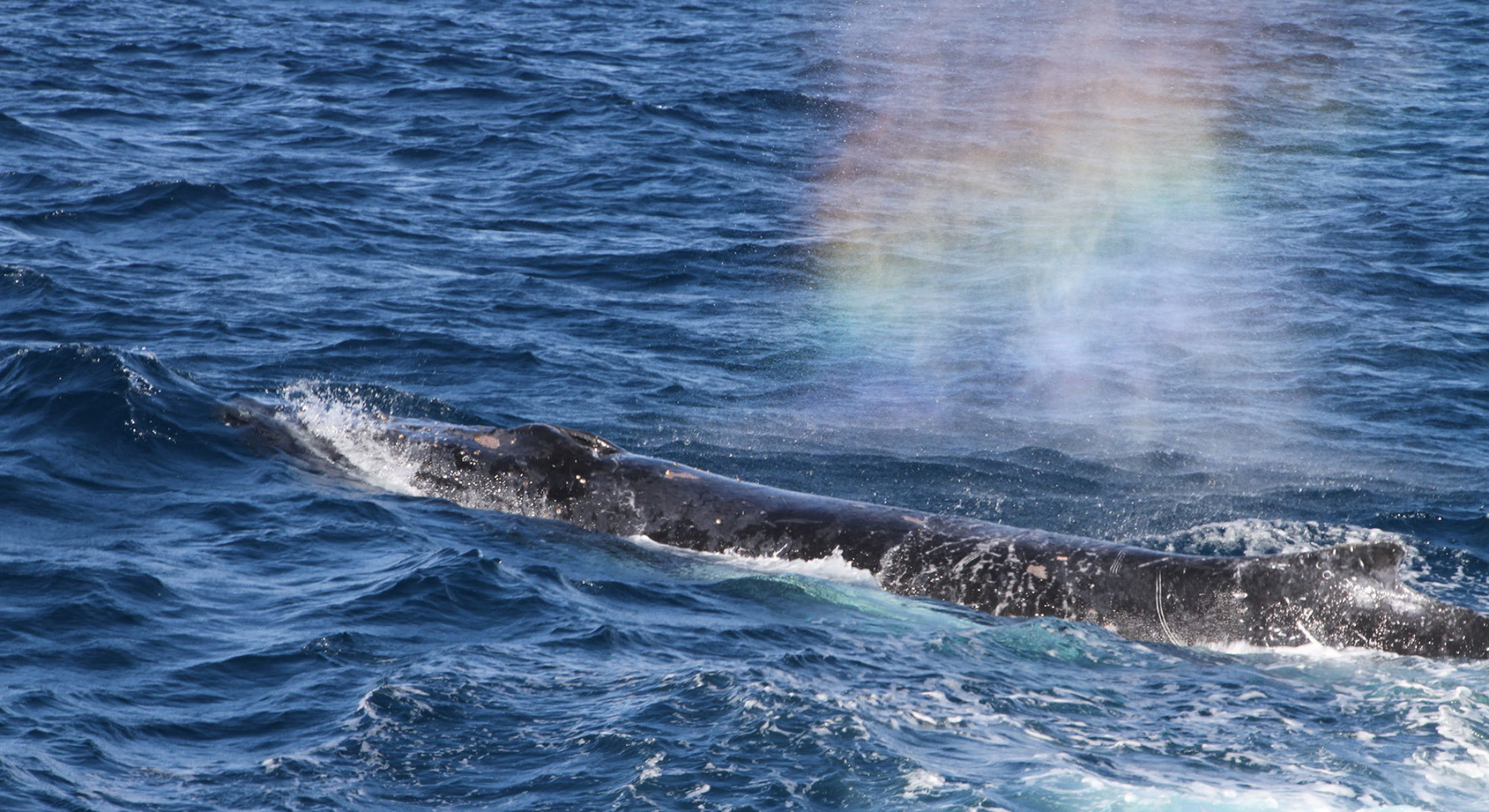 Brisbane Whale Watching Humpback Rainbow