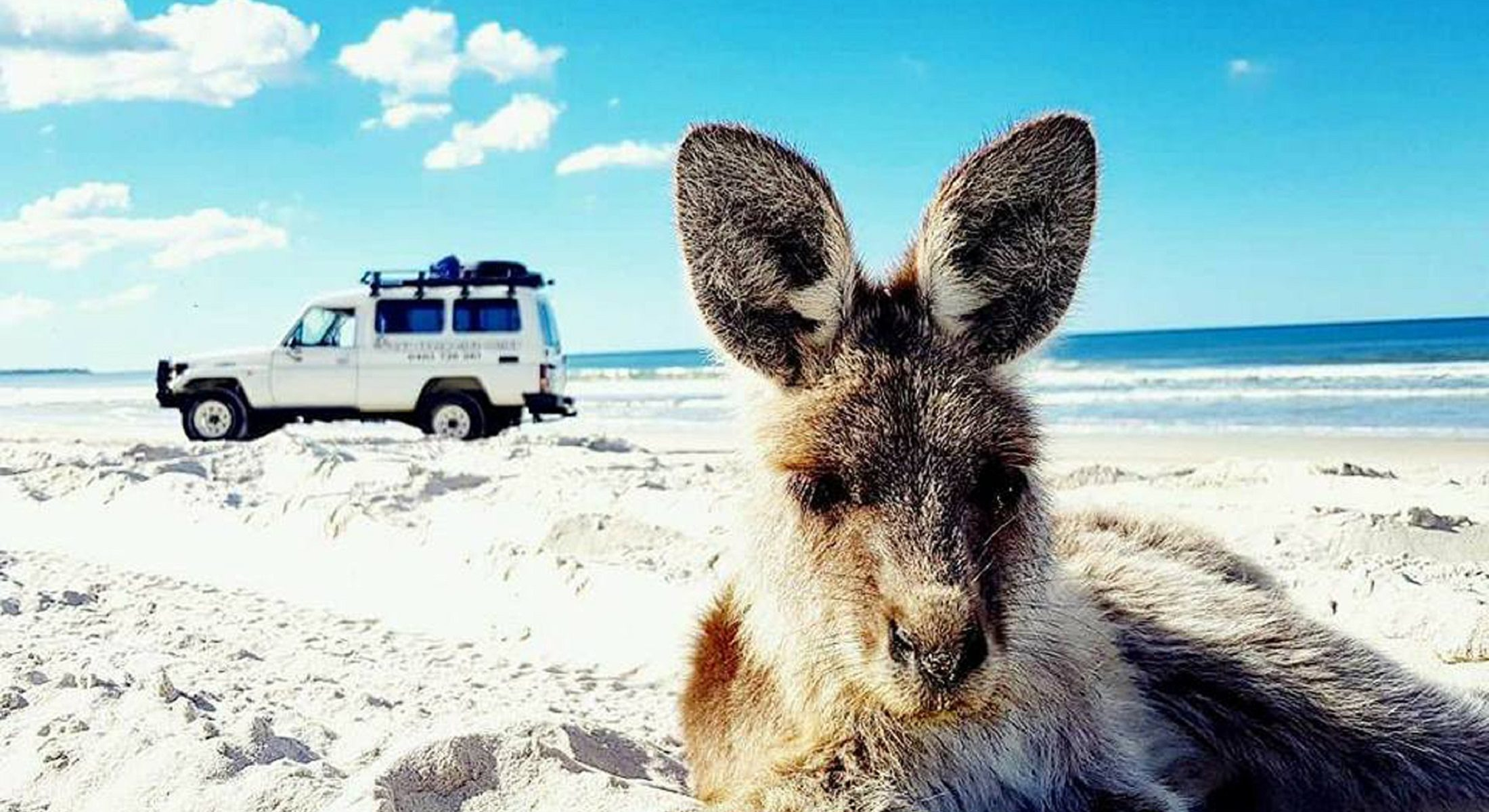 Gday Adventure Tours Bribie Island Kangaroo On Beach Moreton Bay Region