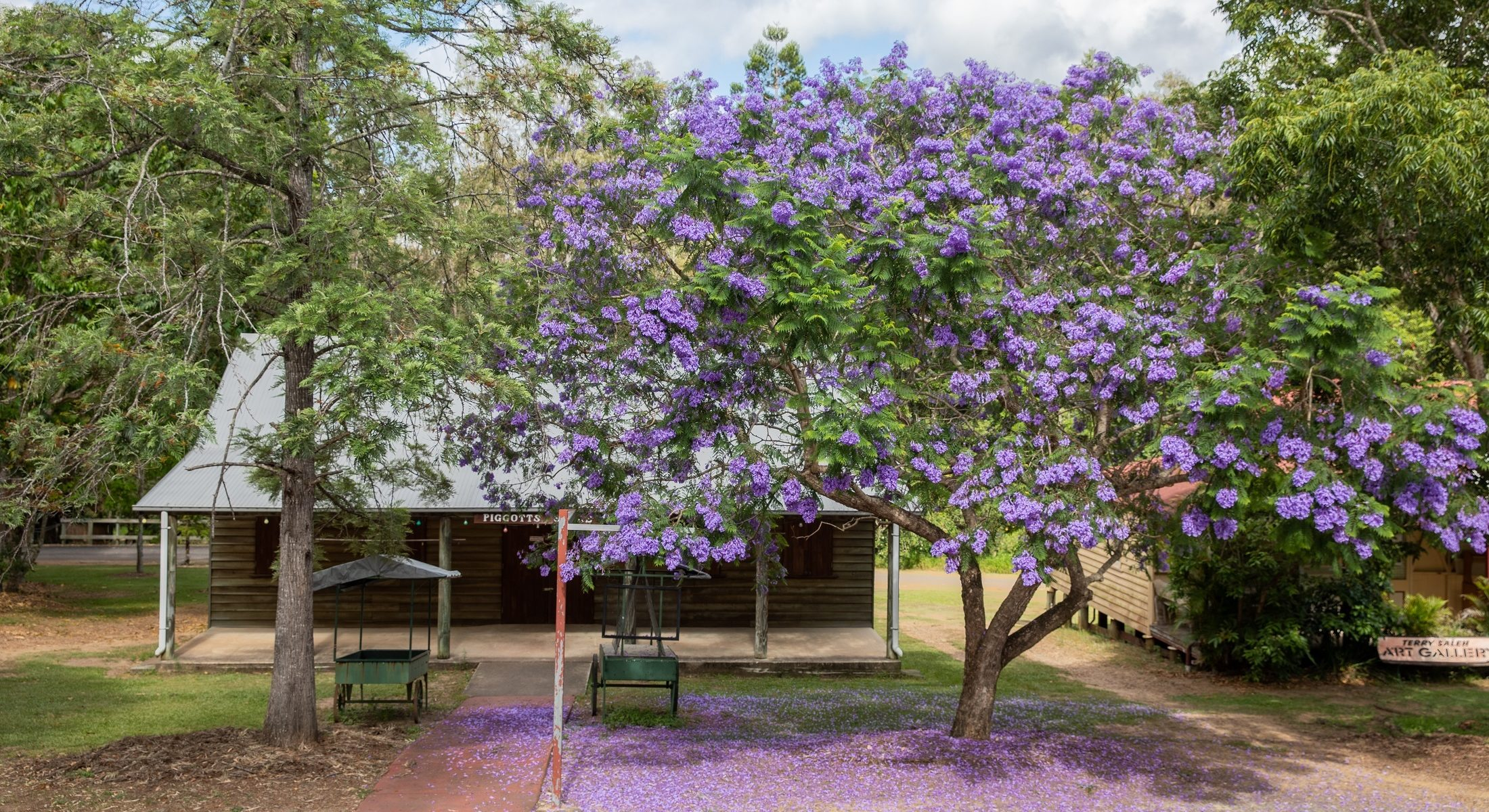 Old Petrie Town Jacaranda Tree in front of building Moreton Bay Region